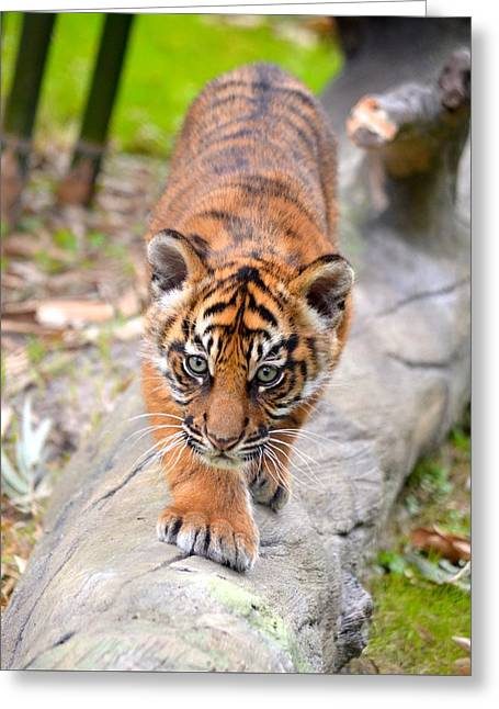 Baby Sumatran Tiger Cub Greeting Card