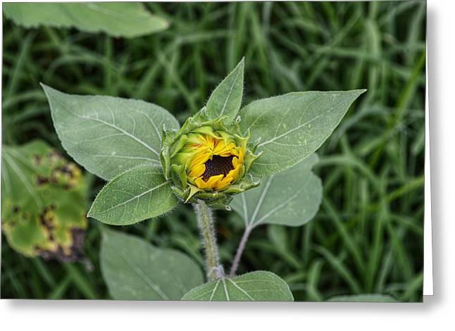 Baby Sunflower  Greeting Card