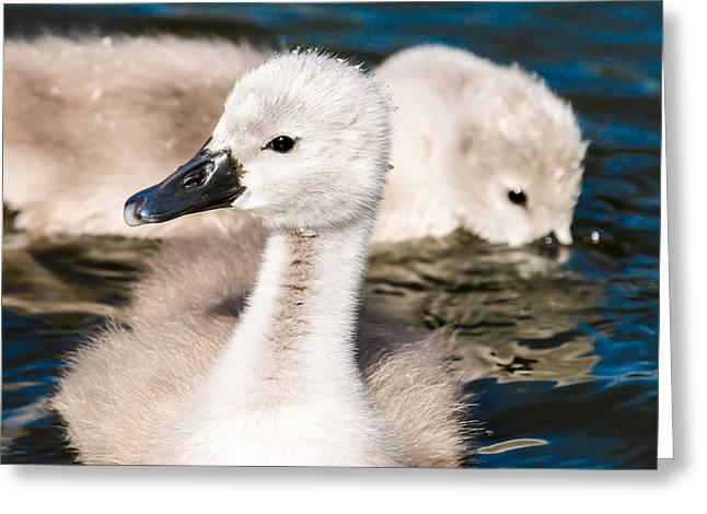 Baby Swan Close Up Greeting Card