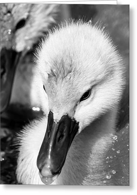 Baby Swan Headshot Greeting Card