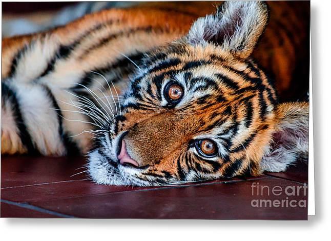 Baby Tiger Greeting Card