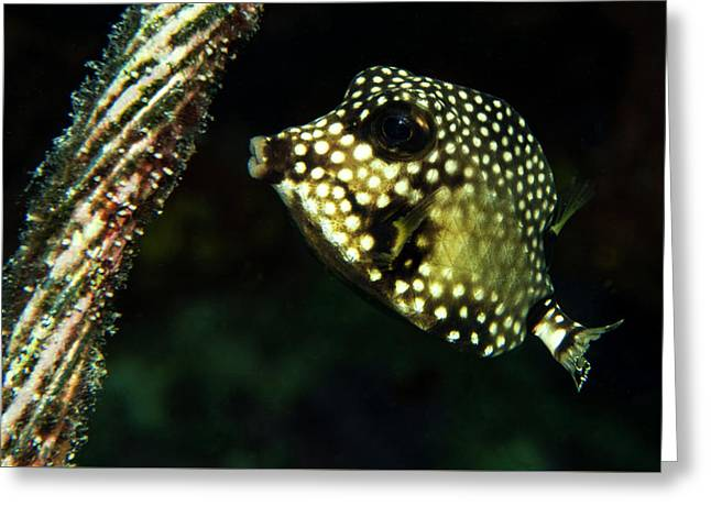 Greeting Card featuring the photograph Baby Trunk Fish by Jean Noren