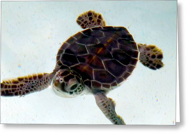 Greeting Card featuring the photograph Baby Turtle by Francesca Mackenney