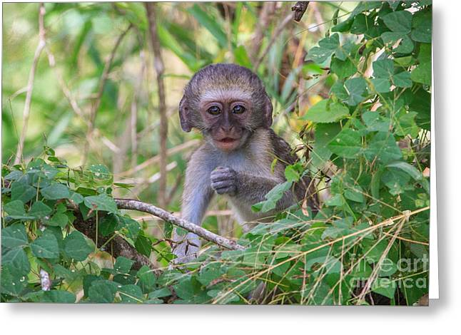 Baby Vervet Monkey Greeting Card