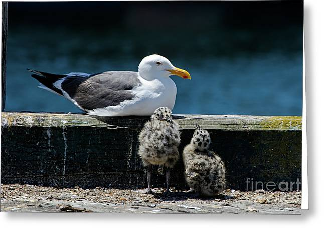 Baby Western Gulls With Mom Greeting Card