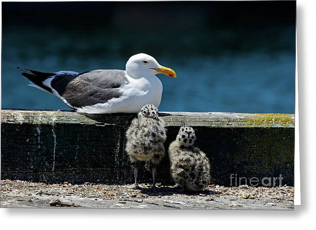Baby Western Gulls With Mom Greeting Card