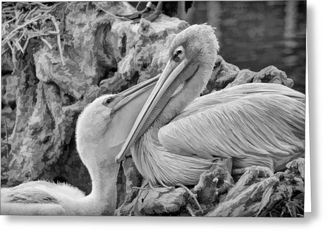 Baby White Pelican Talks To Mother White Pelican Greeting Card