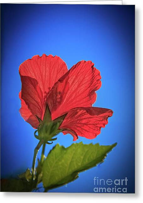 Back Lighting The Red Hibiscus  Greeting Card by Robert Bales