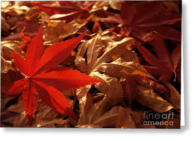 Back-lit Japanese Maple Leaf On Dried Leaves Greeting Card by Anna Lisa Yoder