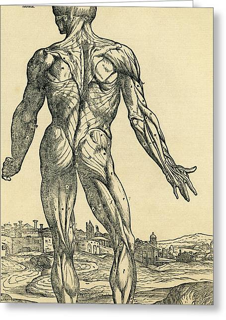 Back Of Male Human Body. Anatomical Drawing by Vintage Design Pics
