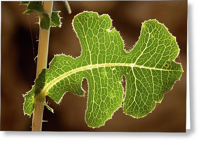 Greeting Card featuring the photograph Back Side Light On A Leaf At Sunset by Yoel Koskas