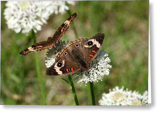 Back To Back Butterflies Greeting Card