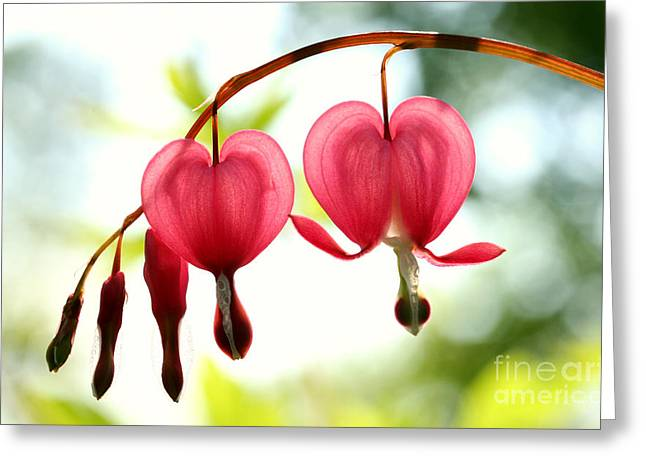 Backlight Bleeding Hearts Greeting Card