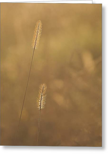 Backlight Grass Stalks Greeting Card by Barry Culling