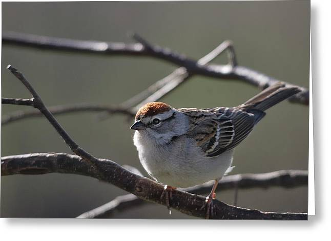 Greeting Card featuring the photograph Backlit Chipping Sparrow by Susan Capuano