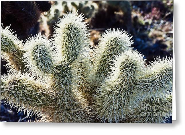 Backlit Cholla Cactus Greeting Card by Bill Brennan - Printscapes