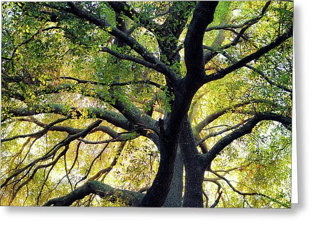 Greeting Card featuring the photograph Backlit Coast Live Oak by Alexander Kunz