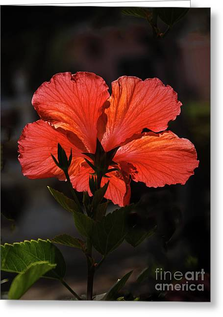Greeting Card featuring the photograph Backlit Hibiscus by Robert Bales