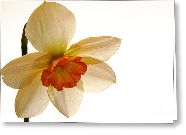 Backlit Jonquil Greeting Card by Lois Bryan