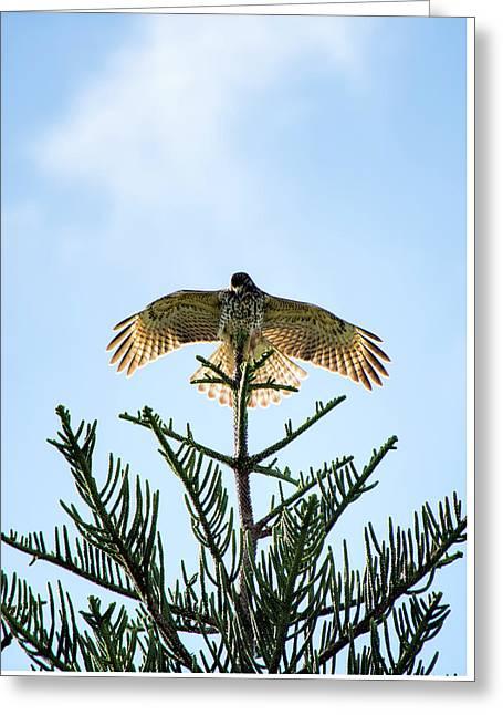 Backlit Landing Hawk Greeting Card