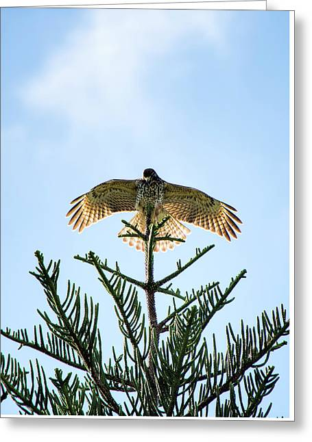 Backlit Landing Hawk Greeting Card
