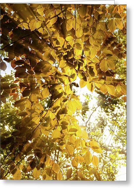 Backlit Leaves Greeting Card by Wim Lanclus
