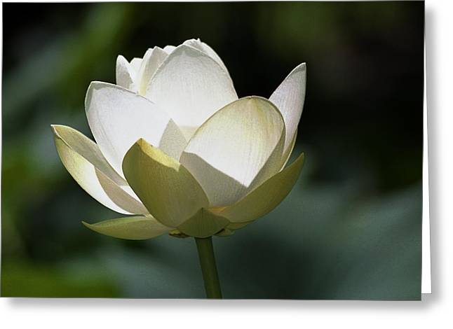 Backlit Lotus Greeting Card by Barry Culling