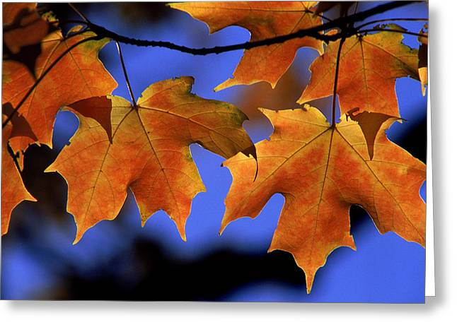 Backlit Maple Leaves Greeting Card by Paul Pobiak