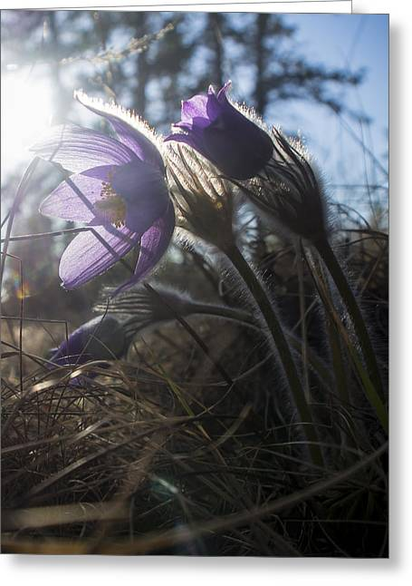 Backlit Pasque Flowers Greeting Card