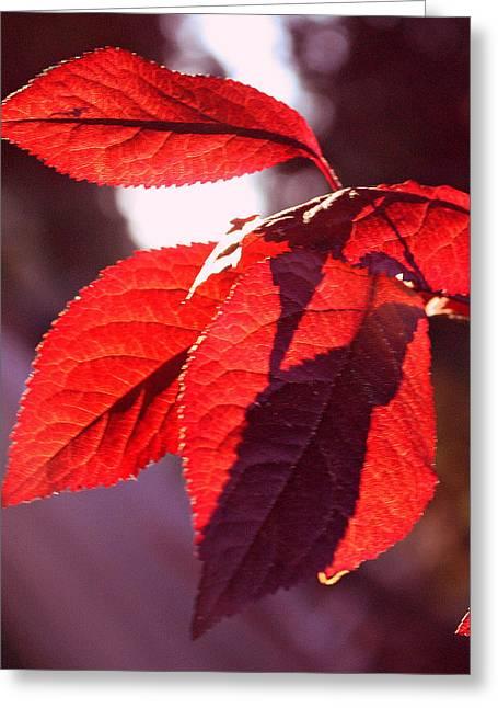 Backlit Red Leaves Greeting Card by Kami McKeon