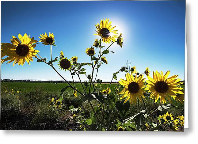 Greeting Card featuring the photograph Backlit Sunflower 1 by Dave Dilli