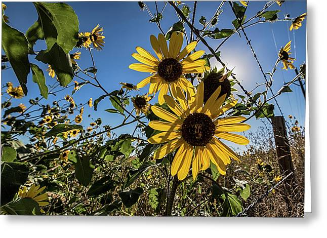Greeting Card featuring the photograph Backlit Sunflower 3 by Dave Dilli