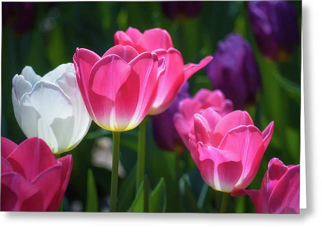 Backlit Tulips Greeting Card by James Barber