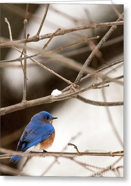 Backyard Bluebird Greeting Card