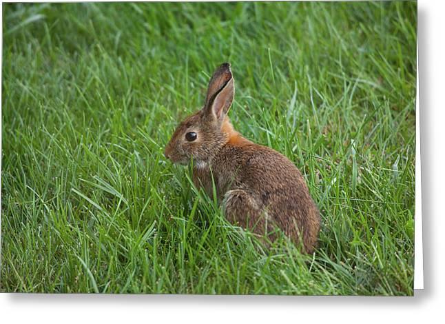 Backyard Bunny Greeting Card by Karol Livote