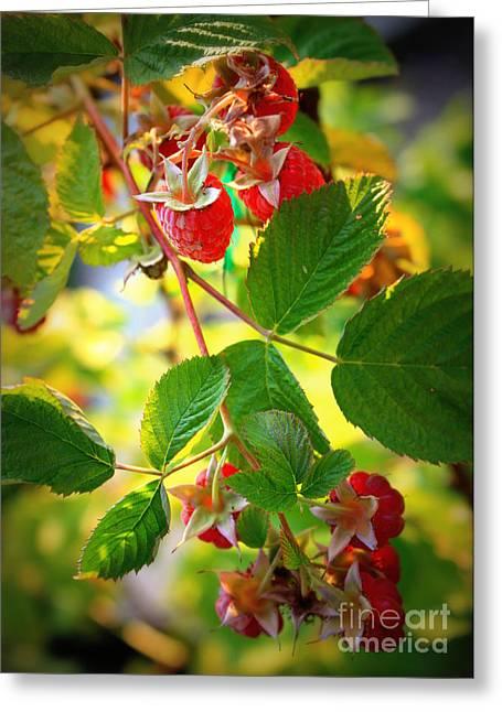 Backyard Garden Series - Sunlight On Raspberries Greeting Card by Carol Groenen