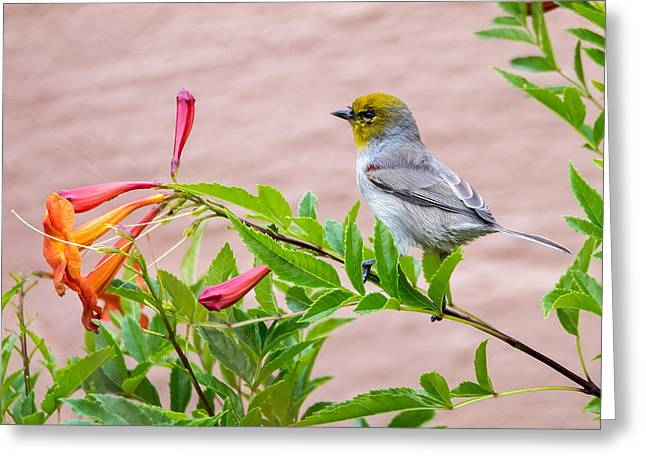 Greeting Card featuring the photograph Backyard Verdin by Dan McManus