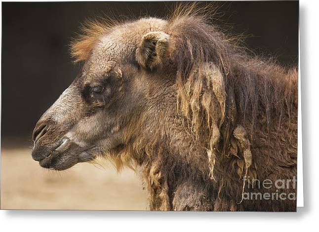 Bactrian Camel Greeting Card by Twenty Two North Photography