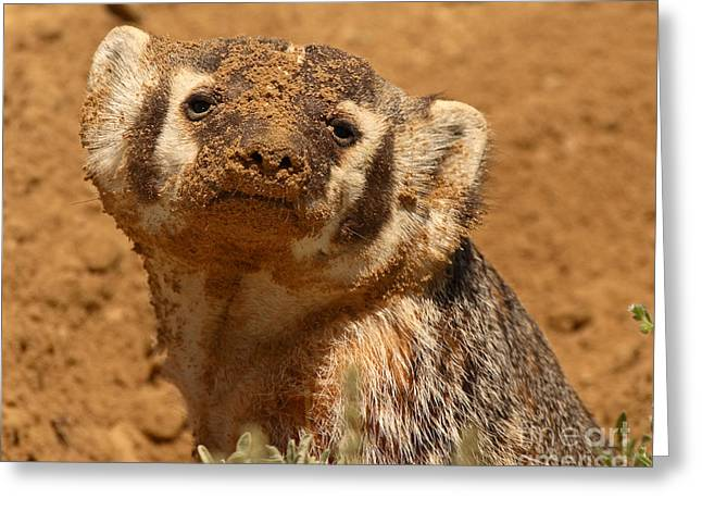 Badger Covered In Dirt From Digging Greeting Card by Max Allen