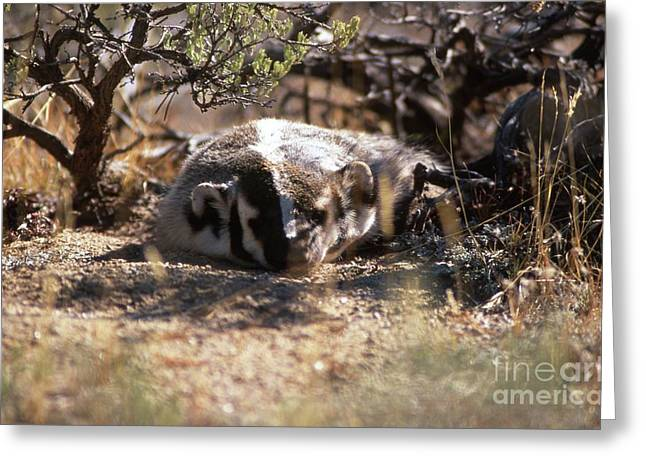 Greeting Card featuring the photograph Badger by Edward R Wisell