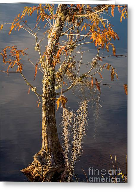 Bald Cypress  Greeting Card by Zina Stromberg