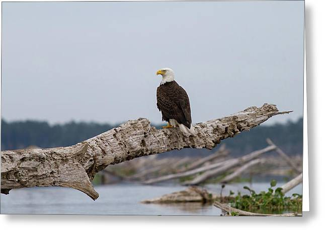 Bald Eagle #1 Greeting Card
