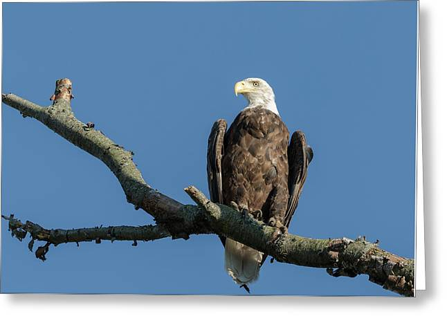 Bald Eagle 2017-2 Greeting Card