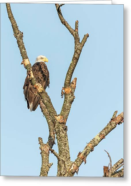 Bald Eagle 2017-3 Greeting Card