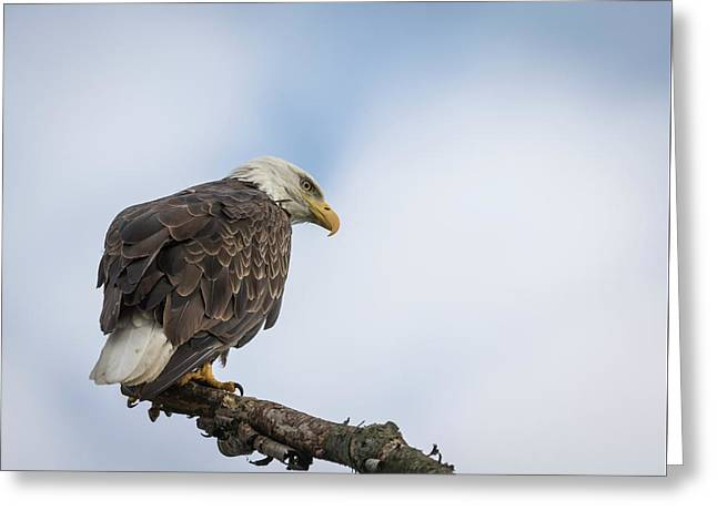 Bald Eagle 2017-4 Greeting Card