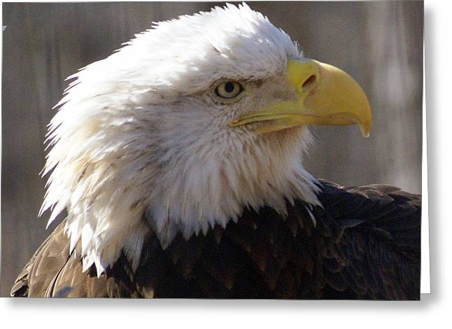Bald Eagle 3 Greeting Card by Marty Koch