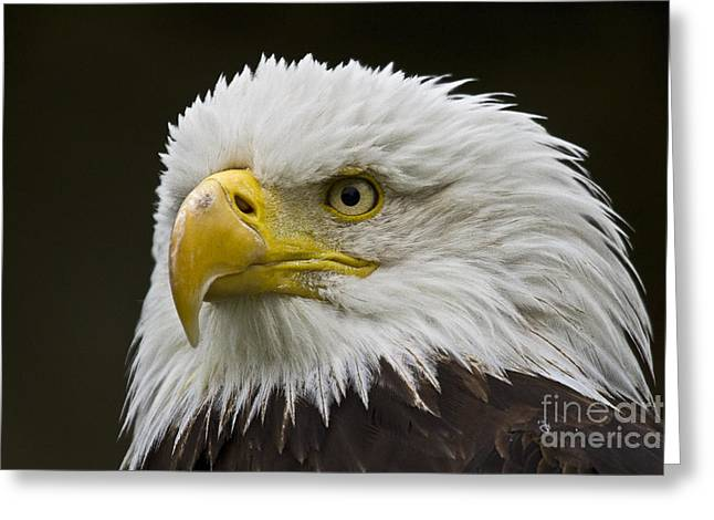 Faunal Greeting Cards - Bald Eagle - 6 Greeting Card by Heiko Koehrer-Wagner