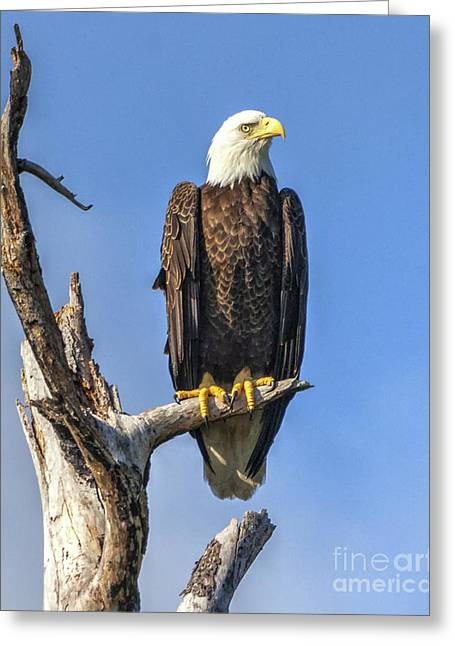 Bald Eagle 6366 Greeting Card