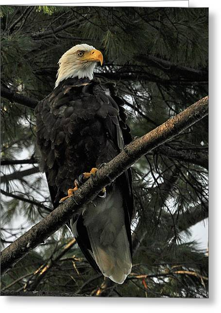 Greeting Card featuring the photograph Bald Eagle by Glenn Gordon