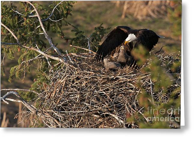 Bald Eagle And Eaglets Greeting Card